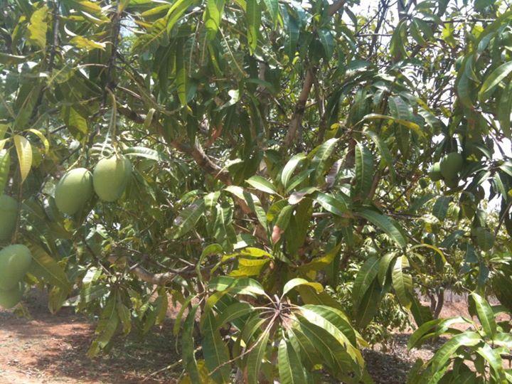 22-05-2013 - I primi frutti di mango della nostra beamata Terra